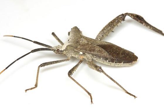 Acanthocephala declivis (Say) - Acanthocephala declivis