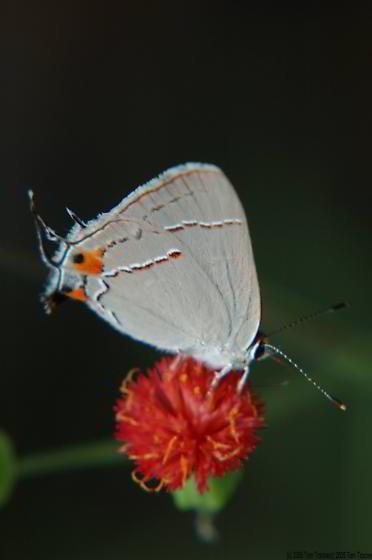 Strymon melinus (Gray Hairstreak) - Strymon melinus