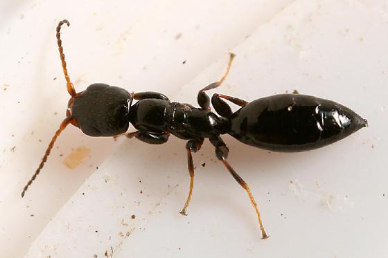 wingless wasp - Bethylus amoenus