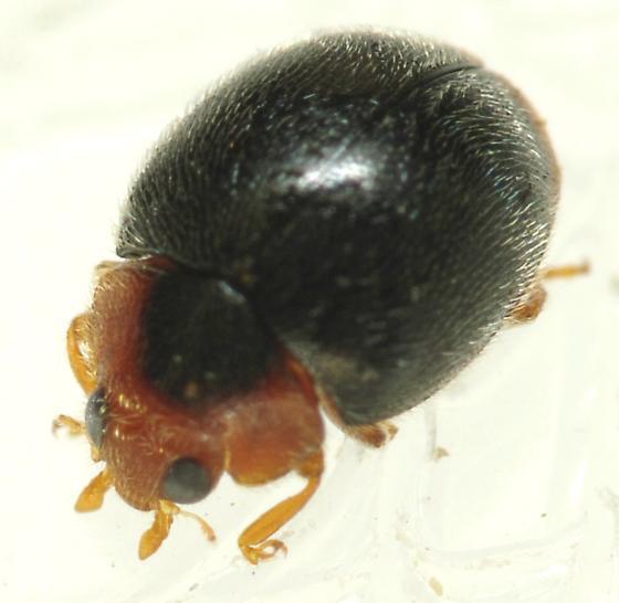 Tiny Beetle - Scymnus
