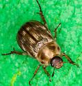 Oriental Beetle (Exomala orientalis) - Exomala orientalis