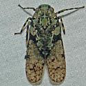 Alphina glauca - Calyptoproctus marmoratus