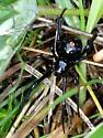 northern widow 1 - Latrodectus variolus - female
