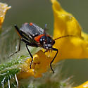 ID for a little black and red beetle? - Malachius capillicornis