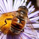 Fly Mimic - Eristalis tenax
