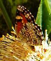 Phaon Crescent - Phyciodes phaon - female