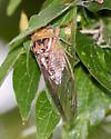 Cicada - Megatibicen dealbatus