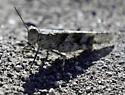Grasshopper at the Laguna Seca Raceway - Trimerotropis pallidipennis-b