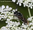 Bee - Lasioglossum - male