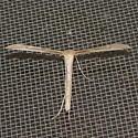 Groundsel Plume Moth, #6210 - Hellinsia balanotes
