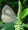Appalachian Azure - Celastrina neglectamajor - female