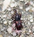 Weevil - Sitophilus