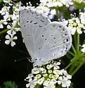 Azure - Celastrina