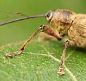 Primitive Weevil - Curculio proboscideus