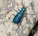 tiger beetle - Cicindela rufiventris