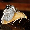 Sooty-winged Chalcoela Moth - Hodges #4895 - Chalcoela iphitalis