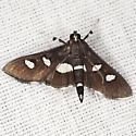 Grape Leaffolder Moth - Desmia