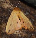 Pyrrharctia isabella - Isabella Tiger Moth - Hodges#8129? - Pyrrharctia isabella