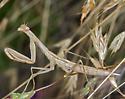 Mantid in grass - Mantis religiosa - female
