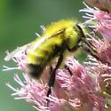 bumblebee400 - Bombus perplexus