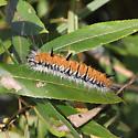 caterpillar - Acronicta dactylina