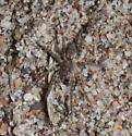 Sand Spider - Arctosa