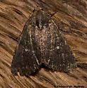 Moth - Condica albolabes