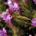 Stilt Bugs  - Jalysus