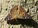 Brown butterfly with black/white/yellow spots - Asterocampa celtis - male