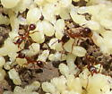 Ants - Aphaenogaster? - Aphaenogaster