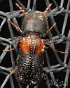 Tiny beetle.... - Xylobiops basilaris
