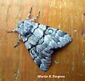 Noctuidae 9182   - Panthea furcilla