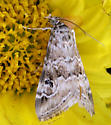 Moth - ? - Hellula rogatalis