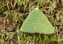 small green moth - Nemoria pulcherrima