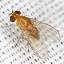 Fly - Neogriphoneura sordida