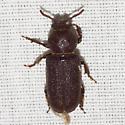 Beetle - Scaphinus muticus