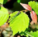 Zygoptera - Damselflies - Coenagrion resolutum - male