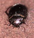 Dytiscid beetle in small pool