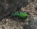 Green Claybank tiger beetle_Cicindela denverensis - Cicindela