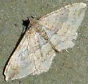 Unidentified Geometer - Orthonama obstipata - male