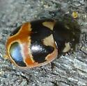 e Beetle - Coccinella hieroglyphica