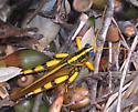 Blue eyed grasshopper - Schistocerca lineata - male