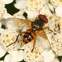small fly - Euclytia flava