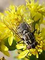Tachinidae? - Stomoxys calcitrans