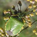 Green Bug - Chlorochroa ligata