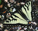 swallowtail - Papilio canadensis