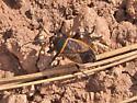 Bordered Plant Bug on Trail at Mogollon Rim - Largus