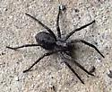 What type of Spider is this? - Gladicosa pulchra