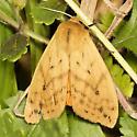Isabella Tiger Moth - Hodges#8129 - Pyrrharctia isabella