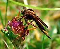 Asilus sericeus - female
